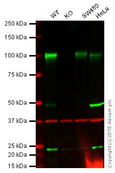 Western blot - Anti-Sortilin/NT3 antibody [EPR15010] (ab188586)