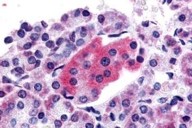 Immunohistochemistry (Formalin/PFA-fixed paraffin-embedded sections) - Anti-GLP1R antibody - C-terminal (ab188602)