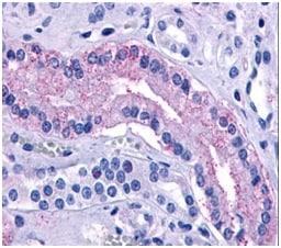 Immunohistochemistry (Formalin/PFA-fixed paraffin-embedded sections) - Anti-V2R antibody (ab188748)