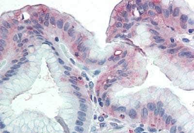 Immunohistochemistry (Formalin/PFA-fixed paraffin-embedded sections) - Anti-GLG1 antibody (ab188799)
