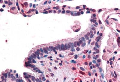 Immunohistochemistry (Formalin/PFA-fixed paraffin-embedded sections) - Anti-MFI2/MTf antibody - N-terminal (ab188817)