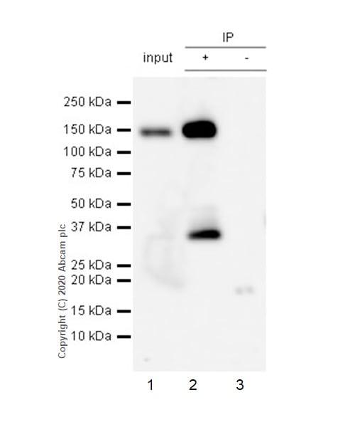 Immunoprecipitation - Anti-Pan Trk antibody [EP1058Y] - BSA and Azide free (ab188825)