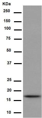 Western blot - Anti-Hsp20 antibody [EPR14457] - N-terminal (ab188864)
