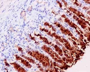 Immunohistochemistry (Formalin/PFA-fixed paraffin-embedded sections) - Anti-GKN2 antibody [EPR15377(B)] - C-terminal (ab188866)