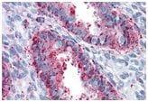 Immunohistochemistry (Formalin/PFA-fixed paraffin-embedded sections) - Anti-ENTPD2 antibody (ab188985)