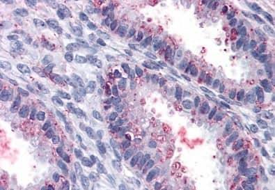 Immunohistochemistry (Formalin/PFA-fixed paraffin-embedded sections) - Anti-ENTPD2 antibody (ab188988)