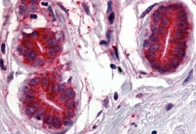 Immunohistochemistry (Formalin/PFA-fixed paraffin-embedded sections) - Anti-Wnt8a antibody (ab188991)