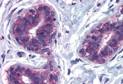 Immunohistochemistry (Formalin/PFA-fixed paraffin-embedded sections) - Anti-CELSR2 antibody - N-terminal (ab189009)