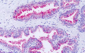 Immunohistochemistry (Formalin/PFA-fixed paraffin-embedded sections) - Anti-GPCR GPR63 antibody - Cytoplasmic domain (ab189039)