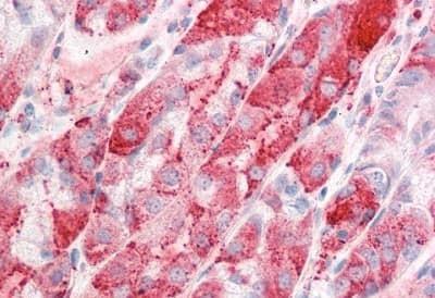 Immunohistochemistry (Formalin/PFA-fixed paraffin-embedded sections) - Anti-ERG28 antibody (ab189065)