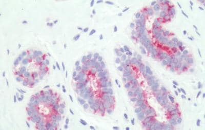Immunohistochemistry (Formalin/PFA-fixed paraffin-embedded sections) - Anti-PTGER3 antibody - Cytoplasmic domain (ab189131)