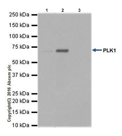 Immunoprecipitation - Anti-PLK1 antibody [EPR19534] (ab189139)