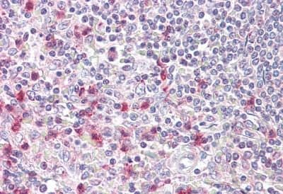 Immunohistochemistry (Formalin/PFA-fixed paraffin-embedded sections) - Anti-NFAT5 antibody (ab189175)