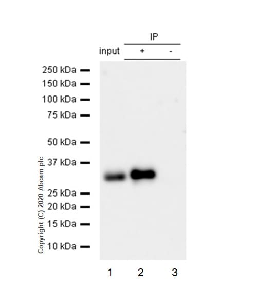 Immunoprecipitation - Anti-Bcl10 antibody [ep605y] - BSA and Azide free (ab189218)