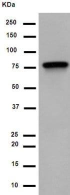 Western blot - Anti-LRRC49 antibody [EP13611] (ab189250)