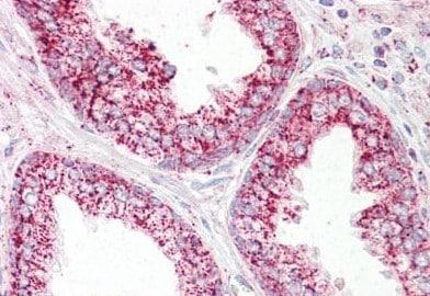 Immunohistochemistry (Formalin/PFA-fixed paraffin-embedded sections) - Anti-EPF antibody (ab189264)