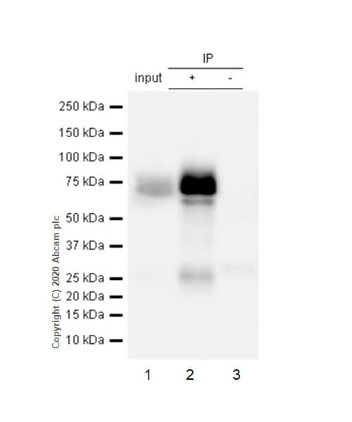 Immunoprecipitation - Anti-Nectin 2 antibody [EPR6717] - BSA and Azide free (ab189298)