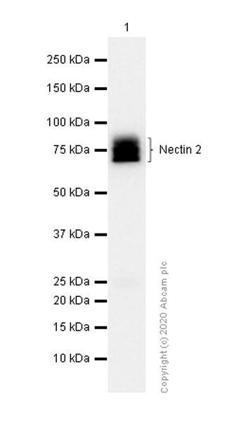 Western blot - Anti-Nectin 2 antibody [EPR6717] - BSA and Azide free (ab189298)