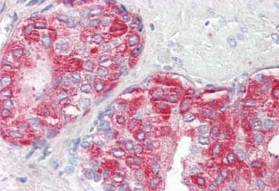 Immunohistochemistry (Formalin/PFA-fixed paraffin-embedded sections) - Anti-PAP antibody (ab189343)