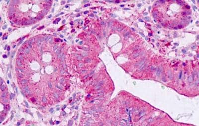 Immunohistochemistry (Formalin/PFA-fixed paraffin-embedded sections) - Anti-SHANK2 antibody (ab189398)