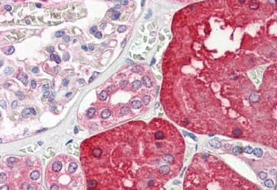Immunohistochemistry (Formalin/PFA-fixed paraffin-embedded sections) - Anti-ACY-1 antibody (ab189399)