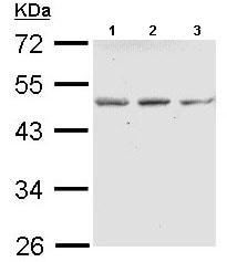Western blot - Anti-ENTPD5 antibody (ab189406)