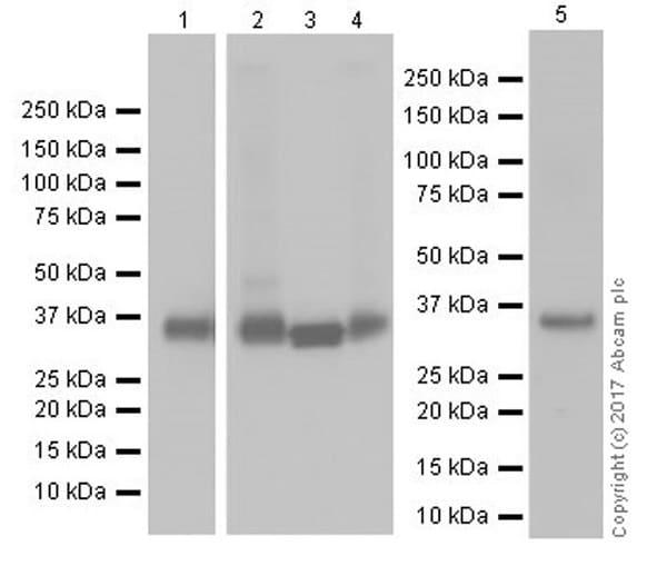 Western blot - Anti-Annexin-2/ANXA2 antibody [EPR18157-104] (ab189473)