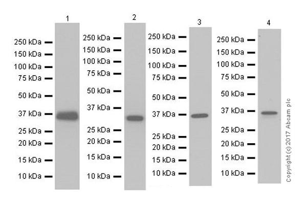 Western blot - Anti-APE1 antibody [EPR18378-45] (ab189474)