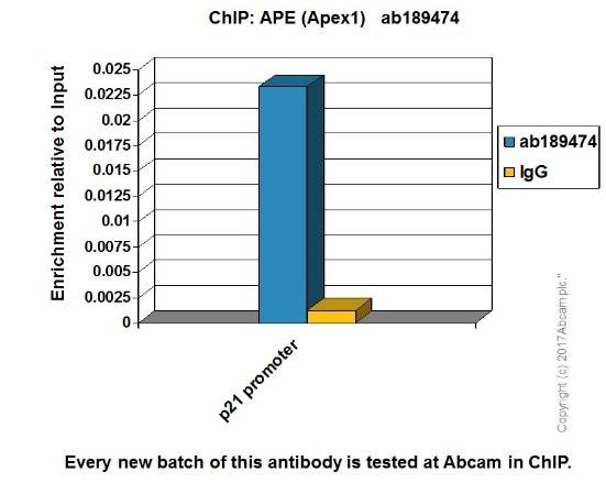 ChIP - Anti-APE1 antibody [EPR18378-45] (ab189474)