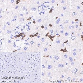 Immunohistochemistry (Formalin/PFA-fixed paraffin-embedded sections) - Anti-Heme Oxygenase 1 antibody [EPR18161-128] (ab189491)