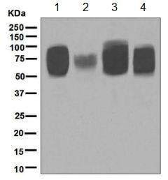 Western blot - Anti-5T4 antibody [EPR5530] - BSA and Azide free (ab189508)
