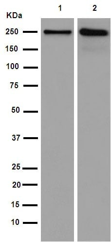 Western blot - Anti-GBF1 antibody [EPR14889] - C-terminal (ab189512)