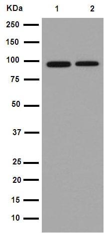 Western blot - Anti-AFG2 antibody [EPR14038] (ab189519)
