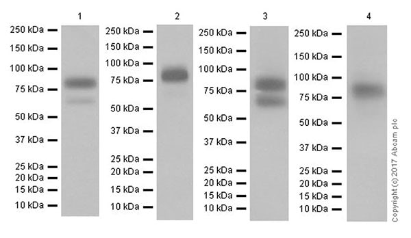 Western blot - Anti-CD44 antibody [EPR18668] (ab189524)
