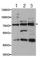 Western blot - Anti-TGE antibody - N-terminal (ab189830)