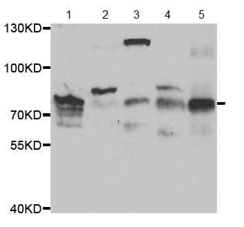 Western blot - Anti-EZH1 antibody (ab189833)