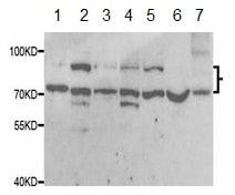 Western blot - Anti-SRPK1 antibody (ab189839)