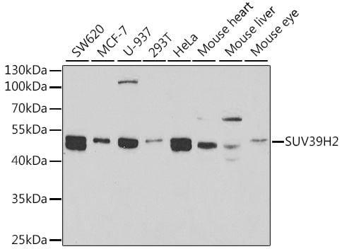 Western blot - Anti-KMT1B / SUV39H2 antibody - C-terminal (ab189842)