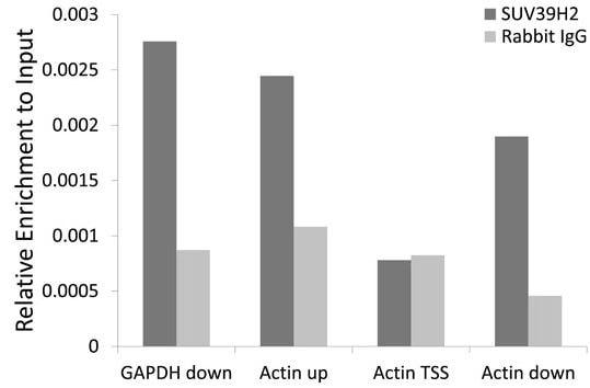 ChIP - Anti-KMT1B / SUV39H2 antibody - C-terminal (ab189842)