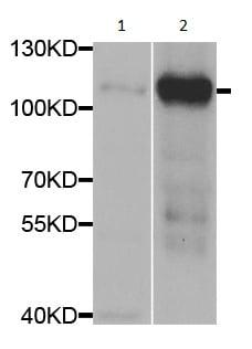 Western blot - Anti-SATB1 antibody - C-terminal (ab189847)