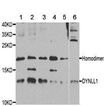 Western blot - Anti-DYNLL1/PIN antibody (ab189854)