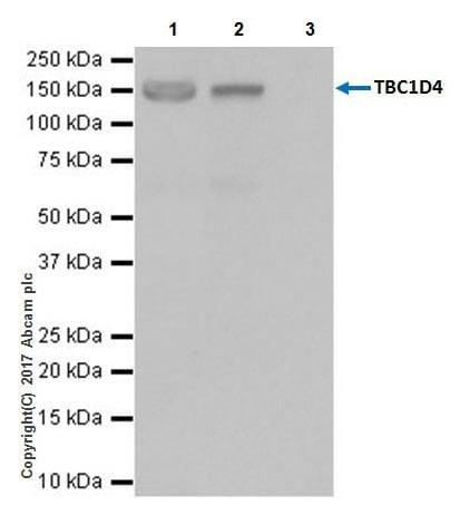 Immunoprecipitation - Anti-AS160 antibody [EPR18418] (ab189890)