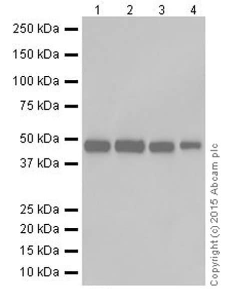 Western blot - Anti-ENO1 + ENO2 + ENO3 antibody [EPR18407] (ab189891)