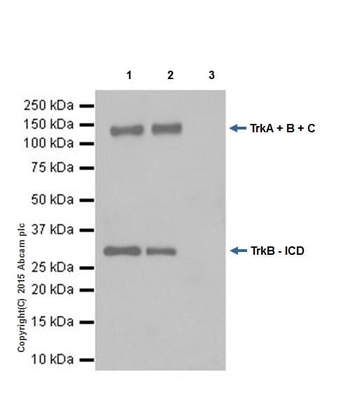 Immunoprecipitation - Anti-Pan Trk antibody [EPR18413] (ab189903)