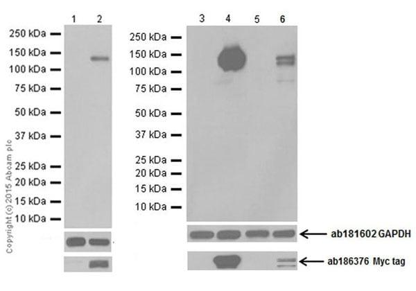 Western blot - Anti-Pan Trk antibody [EPR18413] (ab189903)