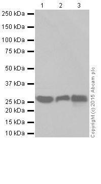 Western blot - Anti-Pirh2 antibody [EPR18553] (ab189907)