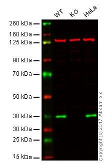 Western blot - Anti-XLF antibody [EPR15882-36] - C-terminal (ab189917)