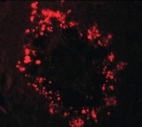 Immunocytochemistry/ Immunofluorescence - Anti-RGS22 antibody - N-terminal (ab189942)