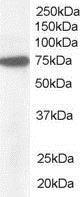 Western blot - Anti-Pericentrin 1/FROUNT antibody (ab19044)