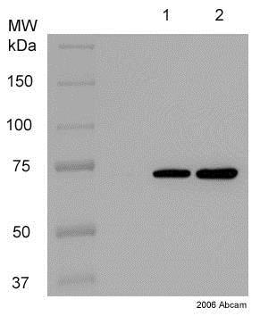 Western blot - Anti-Hsc70 antibody [1B5] (ab19136)